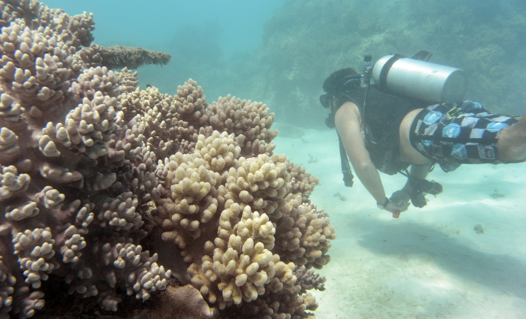 """A photo taken on September 22, 2014, shows a dive instructor from the Ocean Freedom diving on Australia's Great Barrier Reef. The 2,300-kilometre-long reef contributes AUS$5.4 billion (US$4.8 billion) annually to the Australian economy through tourism, fishing, and scientific research, while supporting 67,000 jobs, according to government data. According to an Australian government report in August, the outlook for the Earth's largest living structure is """"poor"""", with climate change posing the most serious threat to the extensive coral reef ecosystem. AFP PHOTO/William WEST / AFP / WILLIAM WEST"""