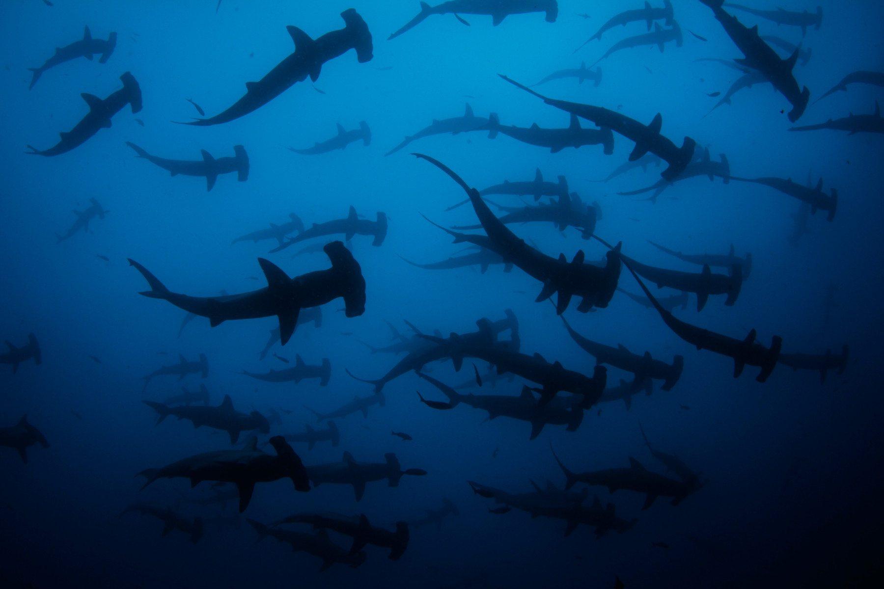 Una escuela de tiburones martillos en aguas de la Isla.
