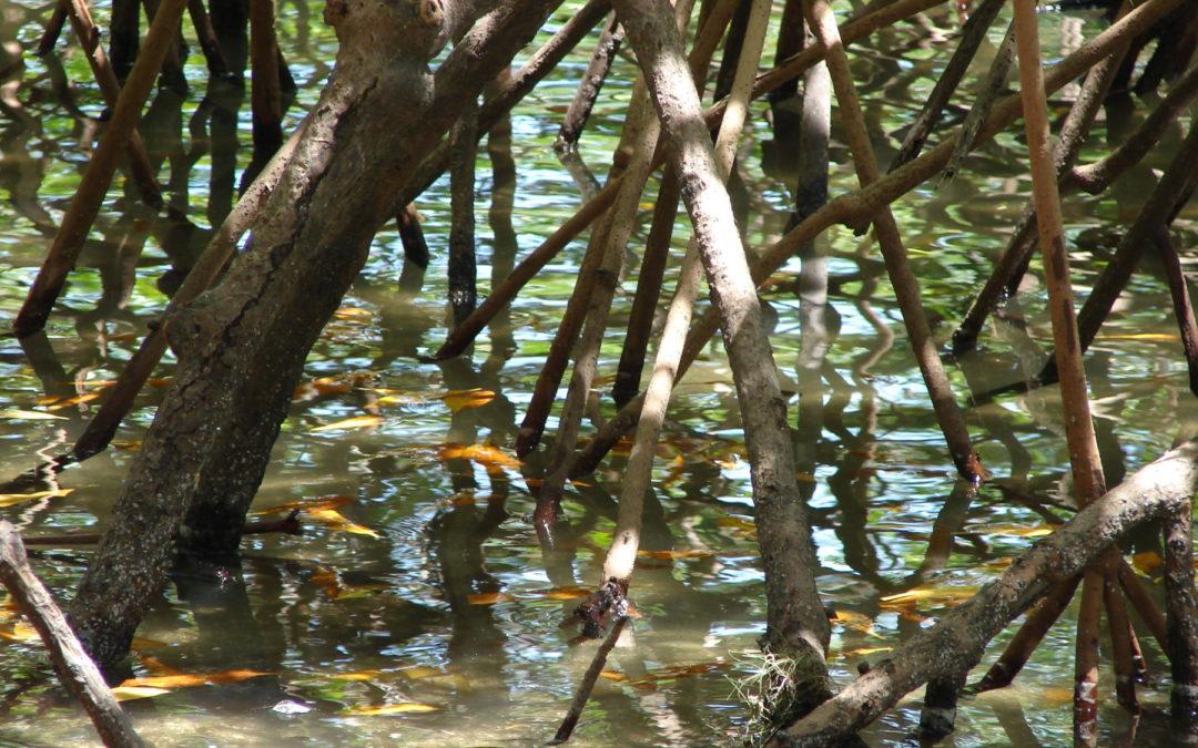 Manglares brindan protección contra inundaciones valorada en $65.000 millones anuales
