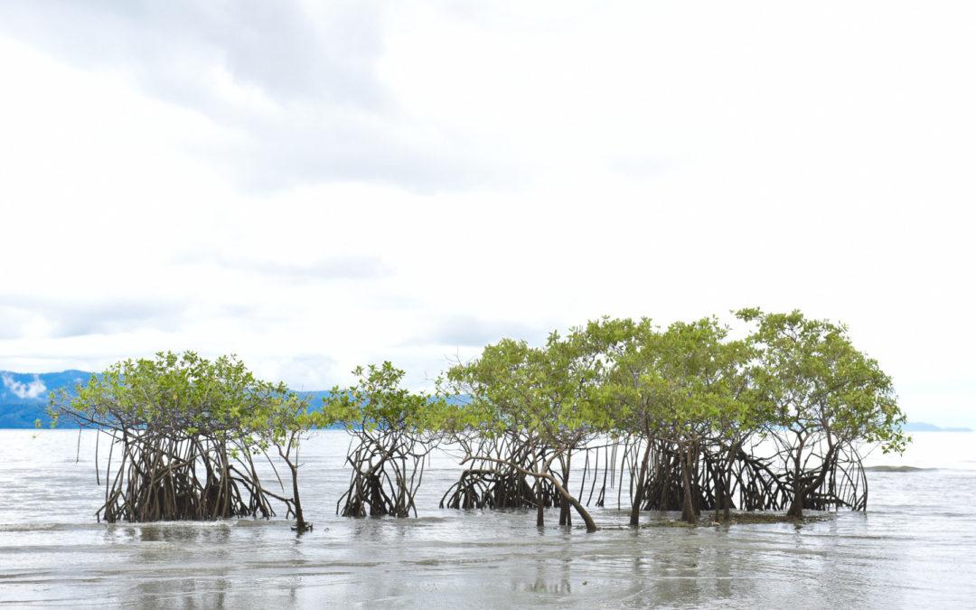 Manglares protegen y a la vez sufren debido a mega huracanes
