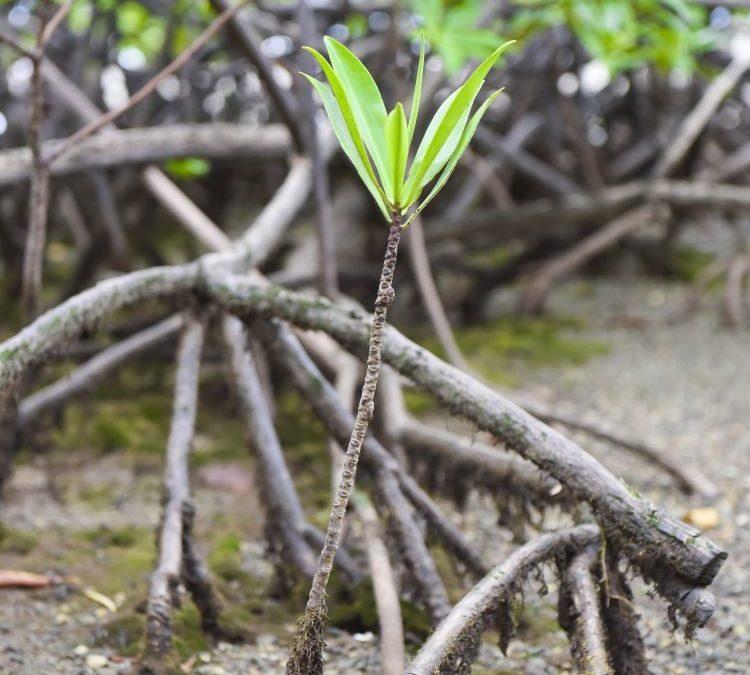 Los huracanes fertilizan los manglares del Golfo de México