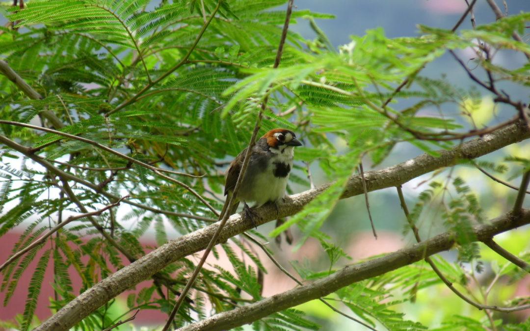 Especie es endémica o única en el país Desarrollo urbanístico amenaza con extinguir al rey de comemaíz
